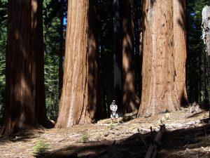 Sequoia Big Trees