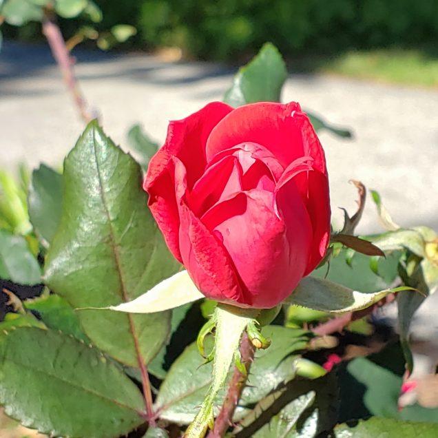 Rose in a Garden